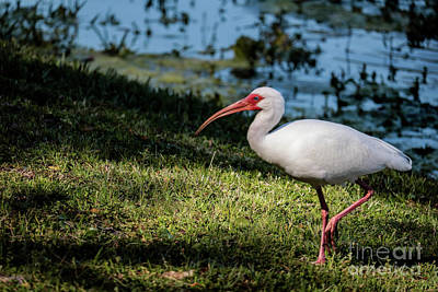 White Ibis Poster by Thomas Marchessault