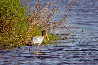 Poster featuring the photograph Wood Stork by Peter Lakomy