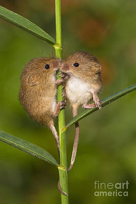 Young Eurasian Harvest Mice Poster