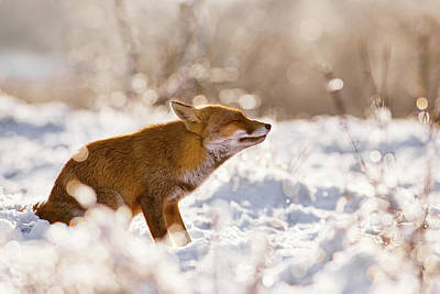 Zen Fox Series -zen Fox In The Snow Poster by Roeselien Raimond