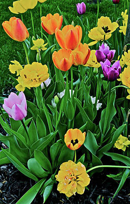 Poster featuring the photograph 2018 Acewood Tulips Galore by Janis Nussbaum Senungetuk