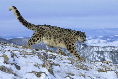 Snow Leopard Poster