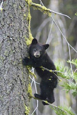 American Black Bear Ursus Americanus Poster by Rich Reid