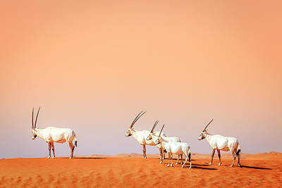 Poster featuring the photograph Arabian Oryx by Alexey Stiop