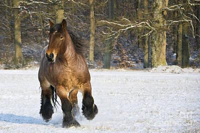 Ardennais Draft Horse Poster