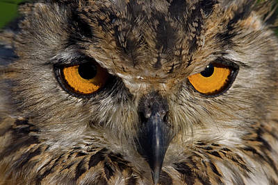 Poster featuring the photograph Bengal Eagle Owl by JT Lewis