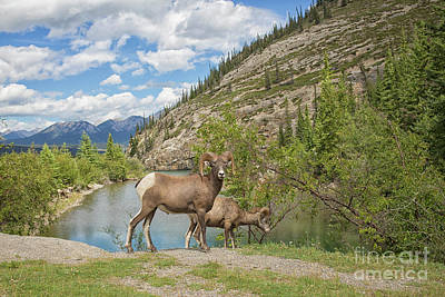 Bighorn Sheep In The Rocky Mountains Poster