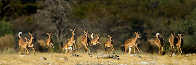 Black-faced Impala Aepyceros Melampus Poster by Panoramic Images