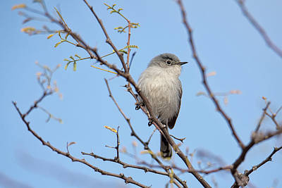 Black-tailed Gnatcatcher Poster