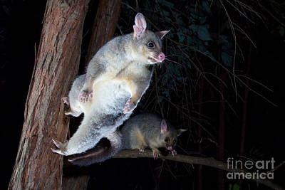 Common Brushtail Possum Poster by B.G. Thomson