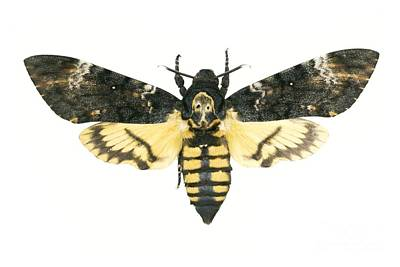 Deaths-head Hawkmoth Poster by Lawrence Lawry
