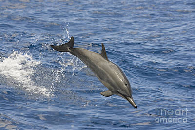Dolphins Leaping Poster by Dave Fleetham - Printscapes