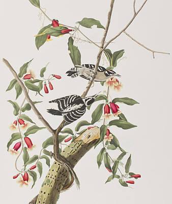 Downy Woodpecker Poster by John James Audubon
