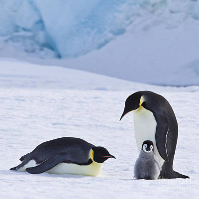 Emperor Penguins And Their Chick Poster