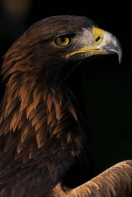 European Golden Eagle Poster