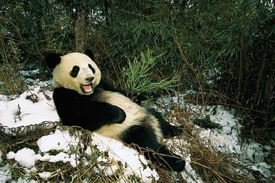 Giant Panda Ailuropoda Melanoleuca Poster by Pete Oxford