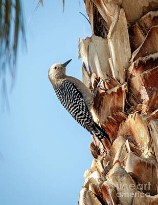 Gila Woodpecker Poster by Robert Bales