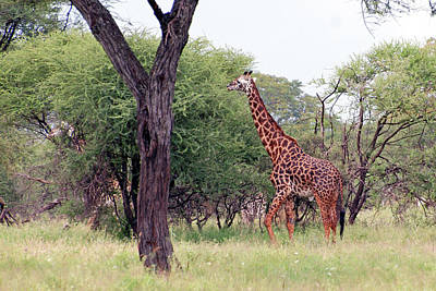 Giraffes Eating Acacia Trees Poster