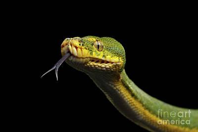 Green Tree Python. Morelia Viridis. Isolated Black Background Poster