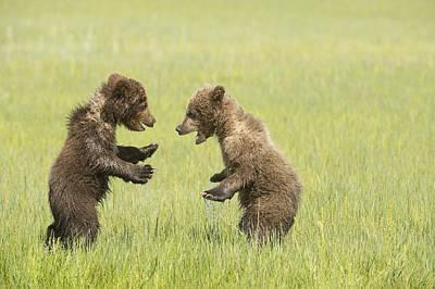 Grizzly Bear  Ursus Arctos Horribilis Poster by Daisy Gilardini
