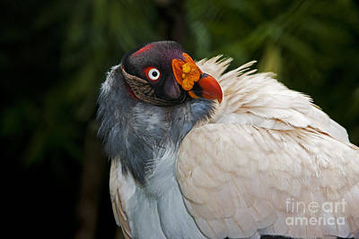 Head Of King Vulture Poster