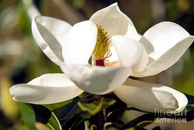 Magnolia Flower Poster by Michael Baltzgar