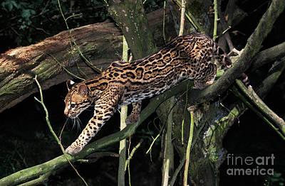 Ocelot Leopardus Pardalis Poster by Gerard Lacz