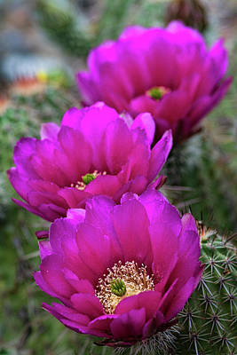 Poster featuring the photograph Pink Hedgehog Cactus  by Saija Lehtonen