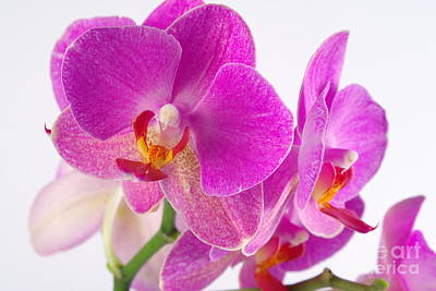 Poster featuring the photograph Pink Orchid by Dariusz Gudowicz