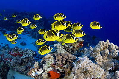 Racoon Butterflyfish Poster by Dave Fleetham - Printscapes