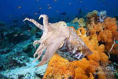 Reef Squid Poster
