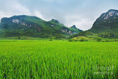 Rice Field Poster by MotHaiBaPhoto Prints