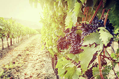 Ripe Wine Grapes On Vines In Tuscany Vineyard, Italy Poster