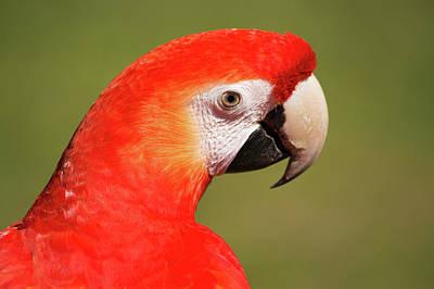 Scarlet Macaw Poster by Uwe Gernhoefer