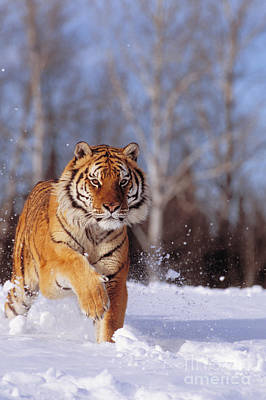 Siberian Tiger Poster by John Hyde - Printscapes