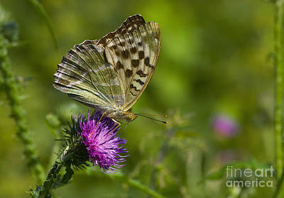 Silver-washed Fritillary Poster