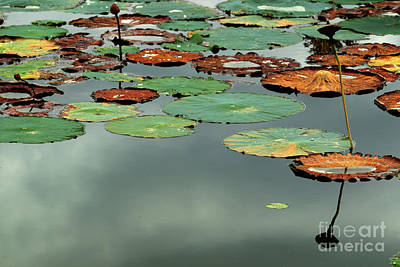 Spring Lake Fish And Wildlife Area - Water Lilies - Nymphaeaceae Poster
