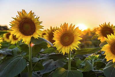 Sunflower Sunset Poster by Ryan Heffron