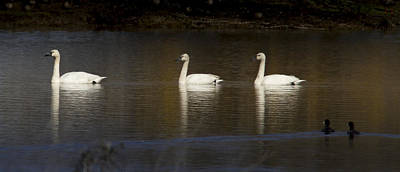 3 Swans Swimming By Jean Noren Poster by Jean Noren