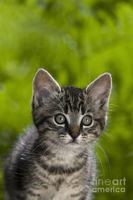 Tabby Kitten Poster by Jean-Louis Klein & Marie-Luce Hubert