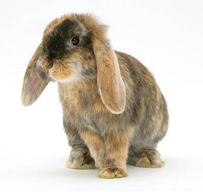 Tortoiseshell Dwarf Lop Rabbit Poster by Jane Burton