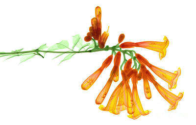 Trumpet Vine, X-ray Poster by Ted Kinsman