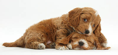 Two Cockapoo Puppies Poster