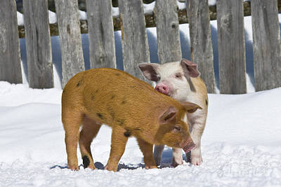 Two Piglets Playing Poster