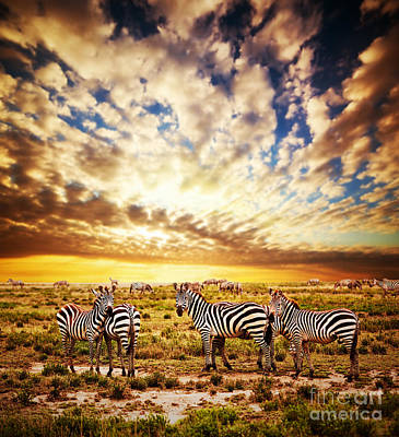 Zebras Herd On African Savanna At Sunset. Poster