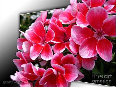 Zonal Geranium Named Candy Fantasy Kiss Poster by J McCombie