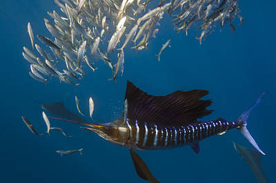 Atlantic Sailfish Istiophorus Albicans Poster by Pete Oxford