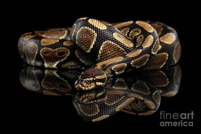Ball Or Royal Python Snake On Isolated Black Background Poster