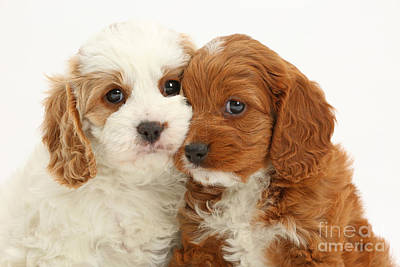 Cavapoo Puppies Poster by Mark Taylor