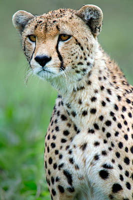 Close-up Of Cheetah Acinonyx Jubatus Poster by Panoramic Images